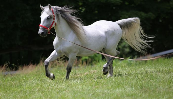 Lipicanec - Home of the Lipizzaner breed, Slovenia